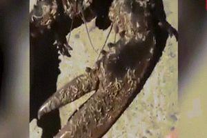 Bắt được tôm hùm có càng khổng lồ như chân người