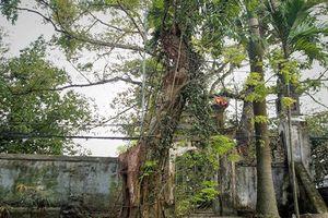 3 cây sưa tiền tỷ nổi tiếng ở Việt Nam