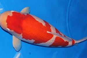 Cá Koi khổng lồ đẹp thế nào mà được xôn xao đồn đoán giá 42 tỷ?