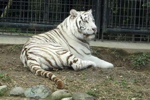 Cho hổ trắng về buồng ngủ, nhân viên sở thú bị cắn tử vong