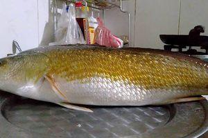 Huế: Ngư dân câu được cá lạ nặng 3kg, dài 60cm, nghi sủ vàng quý hiếm