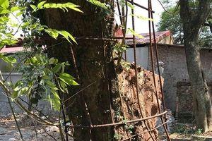 Người dân thôn Phụ Chính được toàn quyền quyết định việc bán cây gỗ sưa hơn 100 tỷ đồng