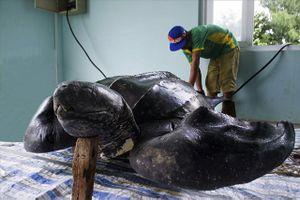Quảng Ngãi: Phục dựng tiêu bản Rùa Da quý hiếm ở đảo Lý Sơn