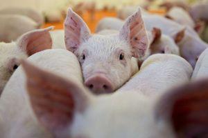 Chủ động ngăn bệnh tả lợn châu Phi