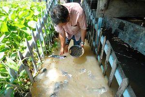 Kỳ lạ lão nông miền Tây dẫn dụ đàn cá tra 'khủng' về cặp mé sông