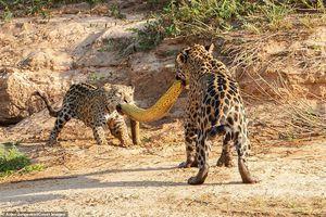Báo đốm con 'lật kèo', giành thịt trăn khổng lồ với mẹ