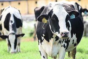 Hoa Hậu Bò Sữa 2018: Khi niềm tự hào khoác trên vai những cô bò