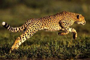 Top 3 loài động vật có vú chạy nhanh nhất thế giới