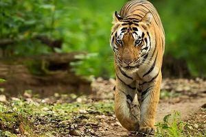 Ấn Độ dùng nước hoa để 'thu hút' hổ cái ăn thịt người