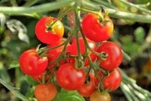 Dùng công nghệ chỉnh sửa gien để tiếp tục thuần hóa cà chua