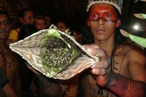 Tập tục cho kiến đốt khi đến tuổi trưởng thành của bộ tộc ở sâu trong rừng Amazon