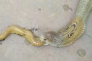 Kỳ dị cảnh con rắn hổ mang nôn ra con rắn hổ mang khác