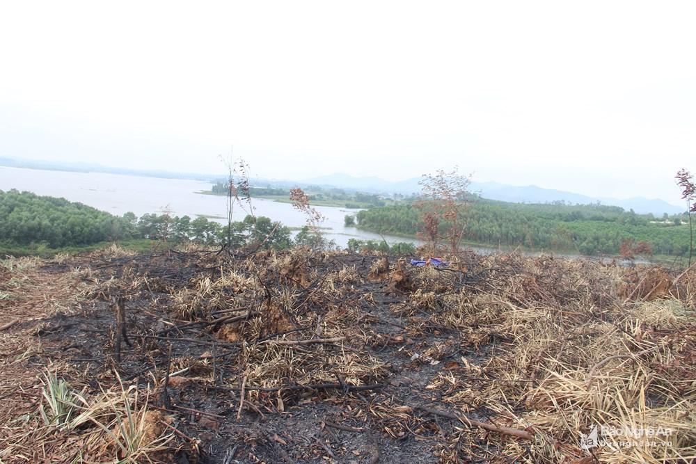 Quỳnh Lưu: Người dân ồ ạt phá rừng phòng hộ để trồng dứa