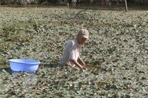Mùa nước nổi ở An Giang: Thả ấu Đài Loan, lời cả chục triệu/vụ