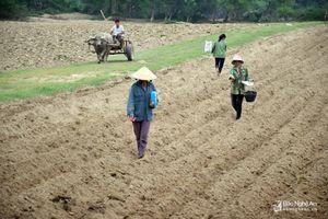 Nông dân vùng bãi ven sông Lam vào vụ trồng ngô đông sau lũ