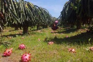 Giá thanh long Bình Thuận bắt đầu tăng trở lại