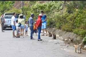 Báo động tình trạng khách vô tư cho khỉ ăn ở Sơn Trà
