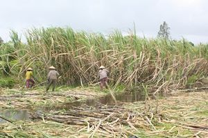 Nông dân ĐBSCL sẽ phá bỏ hàng ngàn ha mía