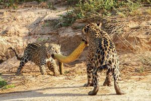 Ảnh động vật tuần: Mẹ con báo đốm cắn trăn, hươu đực gọi tình...