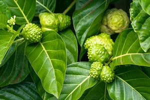 Kỳ 29: 'Bảo bối cây quả' tiêu diệt biến chứng tiểu đường giúp nhiều người thoát chết