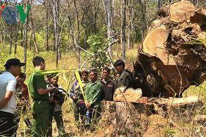 Cưa trộm gỗ quý trong Vườn quốc gia Yok Đôn trị giá hơn 100 triệu đồng