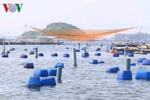 Nỗi lo dịch bệnh phát sinh tại các lồng nuôi tôm hùm ở Phú Yên