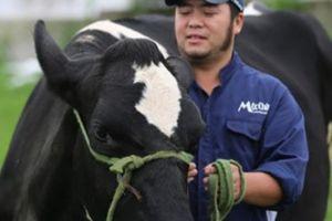 Kỳ công nuôi tạo 'Hoa hậu bò sữa'