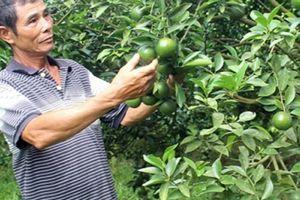 Bí quyết trồng quýt đường không thuốc sâu, năng suất 50 tấn/ha