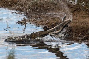 Cá sấu có lực cắn mạnh nhất TG 'thê thảm' vì lửng mật