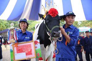 'Cô' bò nặng 762 kg, đăng quang 'Hoa hậu bò sữa' Mộc Châu 2018