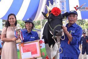 'Cô bò' đẹp nhất đăng quang Hoa hậu bò sữa Mộc Châu