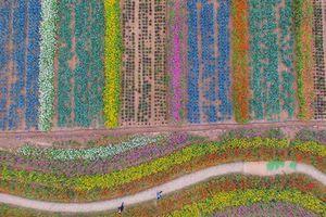 Ngắm nhìn 'tấm thảm len' kỳ diệu kết từ hàng vạn cây cúc đang nở hoa