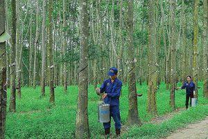 Cao su Tây Ninh (TRC): Lợi nhuận 9 tháng giảm mạnh
