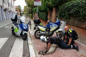 Cảnh sát lái xe máy, ô tô truy đuổi đà điểu