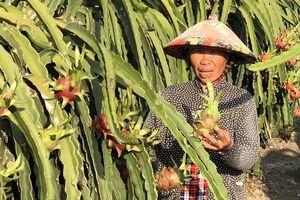 Long An: Giá thanh long tại vườn 33.000 đ/kg