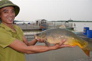Lạ mắt nghề nuôi cá chép không vảy, thịt thơm ngon, giòn như tràng lợn