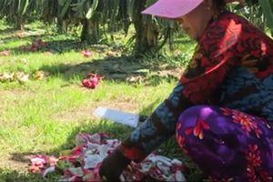 Sự thật clip nông dân trồng thanh long chặt bỏ trái