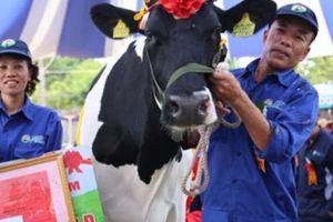 Cô bò cho 15 tấn sữa/năm chính thức đăng quang 'Hoa hậu'