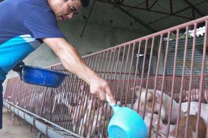 Giá heo hơi hôm nay 16/10: Giá lợn giống tăng gấp 10 lần