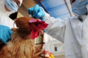 Con số giật mình: Bị nhiễm vi rút cúm gia cầm, 64 người tử vong