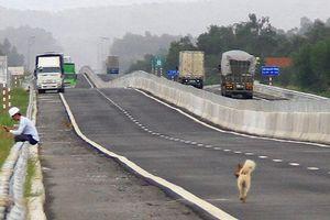 Hình ảnh chó, dê, bò... trên cao tốc Đà Nẵng - Quảng Ngãi
