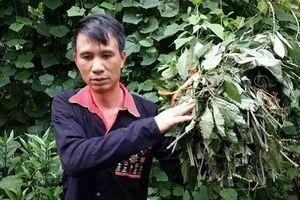 Hành trình vị 'cứu tinh' đưa cây thuốc chữa bệnh mất ngủ của châu Âu cứu người Việt