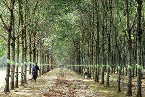 Giá cao su giảm sâu, làm gì để người trồng không 'tháo chạy'?
