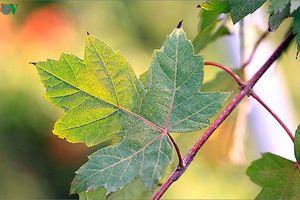 Ngắm cây phong khoe sắc, rực rỡ ở nhiều nơi trên thế giới