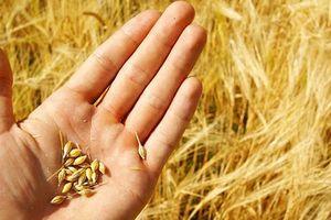 Tranh cãi xung quanh việc nhập khẩu lúa mỳ nhiễm cỏ kế đồng