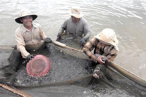 Người nuôi tôm Bình Định trúng đậm, sản lượng gần gấp đôi năm ngoái