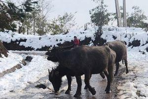Cao Bằng chủ động phòng chống rét cho vật nuôi