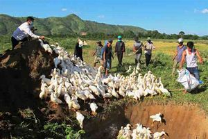 Phát hiện, tiêu hủy ổ cúm AH5N6 tại Đắk Lắk