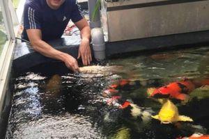 Hơn 300 chú cá quốc ngư xứ Mặt Trời mọc đẹp mê hồn của trai phố núi