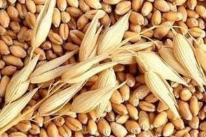 Lùi thời hạn tái xuất đối với các lô hàng lúa mì nhiễm cỏ kế đồng